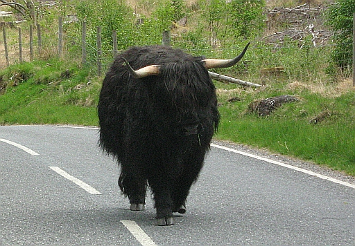 The black wooly cow on the ben nevis road