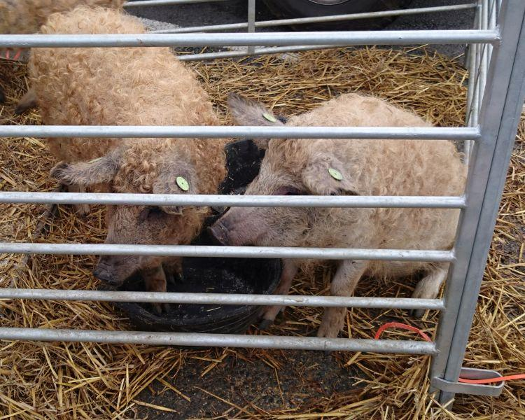 Pigs that have a thin covering of very curly wool in a pen at the sheep festival
