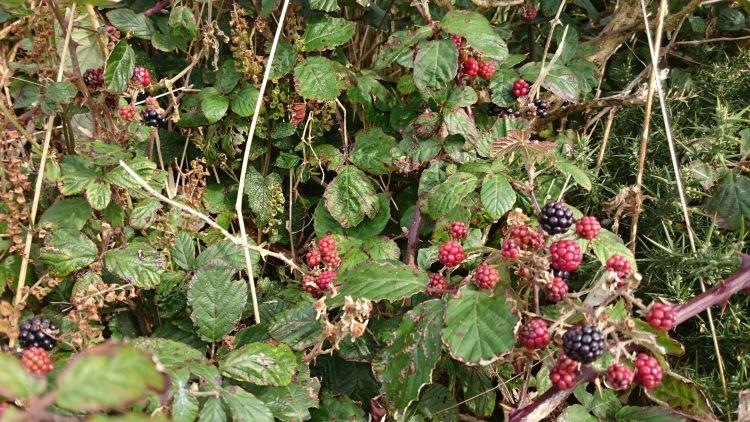 Leaves, twigs, vines and ripe blackberries all in a mad tangle behind the tent