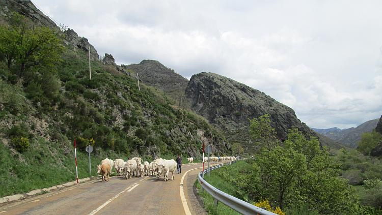 A herd of white cows are being walked along the main mountain road