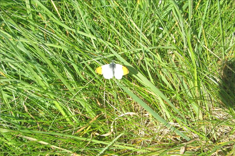 A white winged with yellow tips butterfly on the green grass