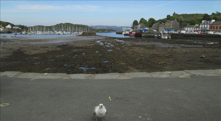 The tide is out at Tarbert Harbour, a seagull is close up and begging for food