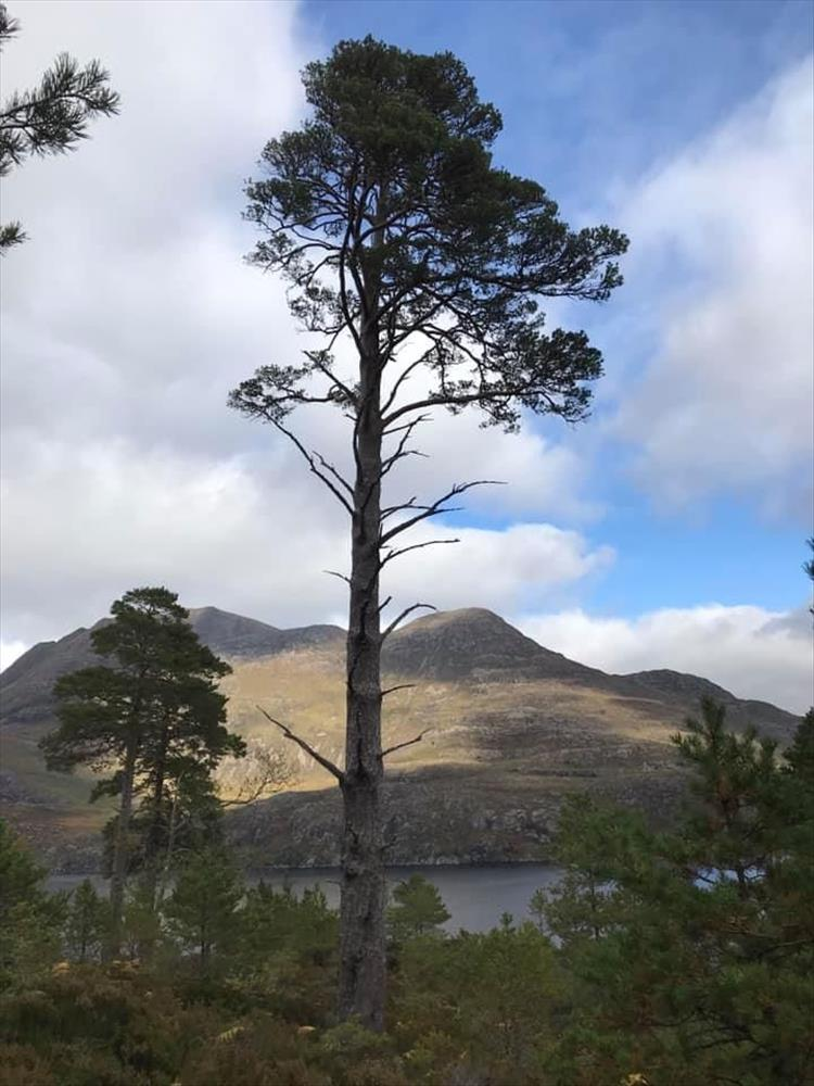 A tall pine tree naked lower down against the rugged highland backdrop
