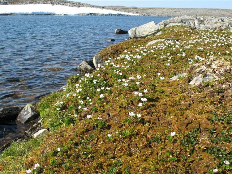 Small pretty wildflower grow close to the shore amid rocks and snow at cape Nordkinn