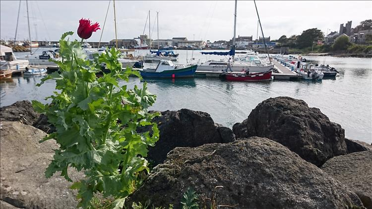 A tall thistle with a red flower in the foreground, the marina and boat of ardgalss