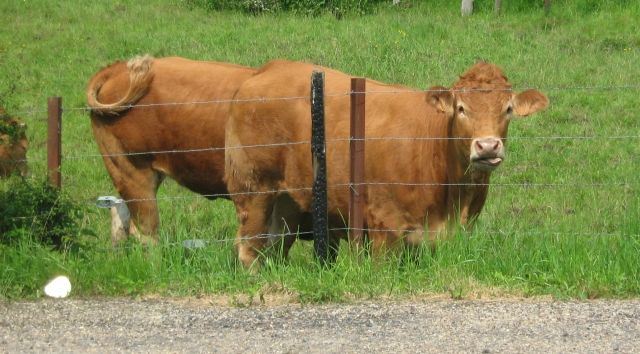 a brown cow looking at the camera in a field behind barb wire fence