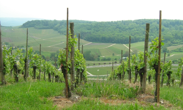 grape vines in the foreground with a lush green valley in the background in luxemburg
