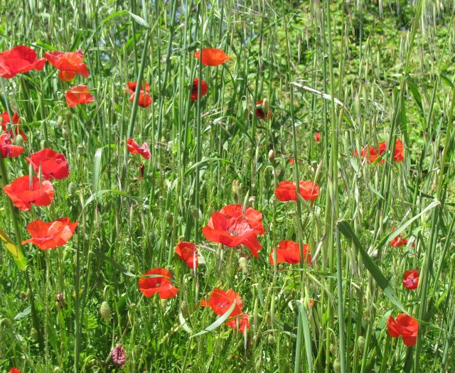 poppies and grasses in the sunny fields of southern france