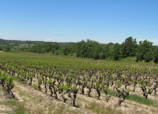 large and long rows of grape vines growing in the sun of southern france