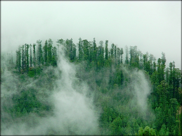 tall trees on a hillside in the heavy mist