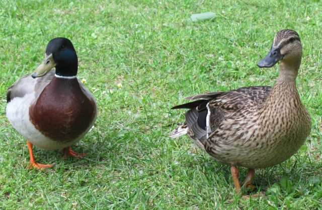 2 ducks, a male and female on the grass at millau