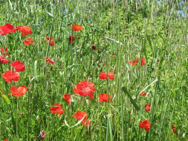 poppies in long grass in a field in France