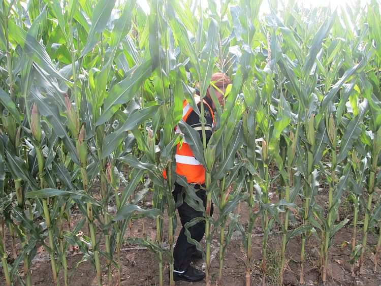 the gf just visible among tall ripe maize plants in the rows of a field