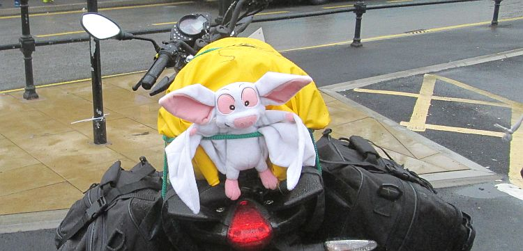 batty strapped to the gf's bike, soaking wet and bedraggled in holmfirth